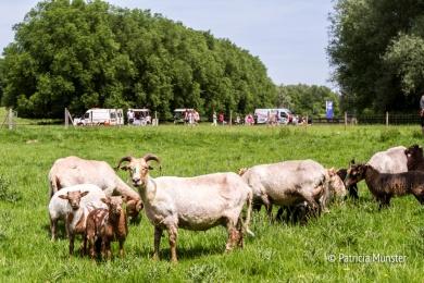 Schapen in Westerpark