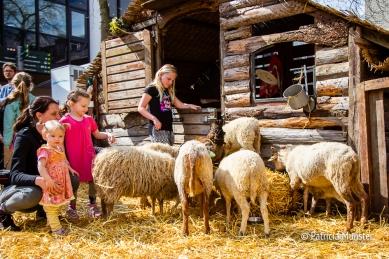 Schapen bij de schaapskooi in het Stadshart van Zoetermeer
