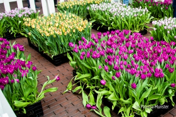 Tulpen in het Stadshart Zoetermeer