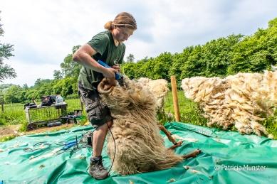 Pedicure bij schapen