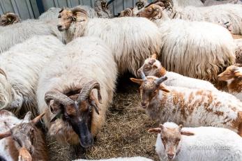 In spanning wachten deze schapen om geschoren te worden.