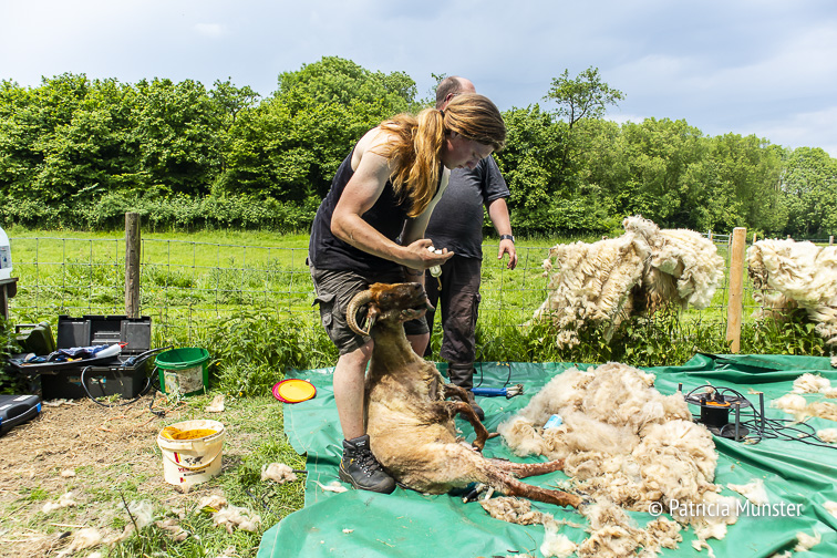 Verzorging van de schapen tijdens de Westerparkdag