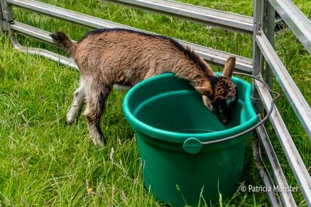 Ook geitjes in het Westerpark